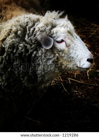 Sheep´s head in the light.