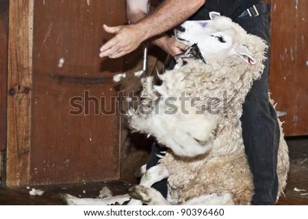 Sheep shearing in New Zealand. - stock photo