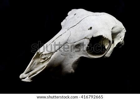 Sheep Skull on Black Background - stock photo