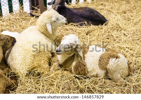 Sheep sleep on straw - stock photo