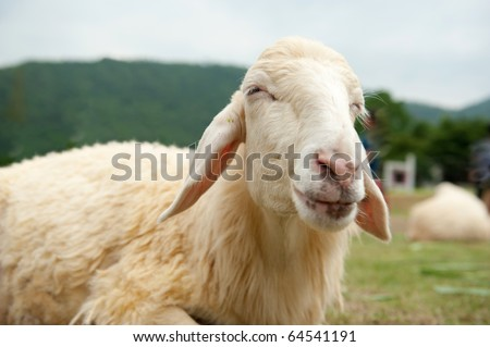 Sheep smiling - stock photo