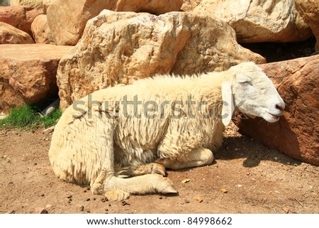 sheep smiling in the farm - stock photo