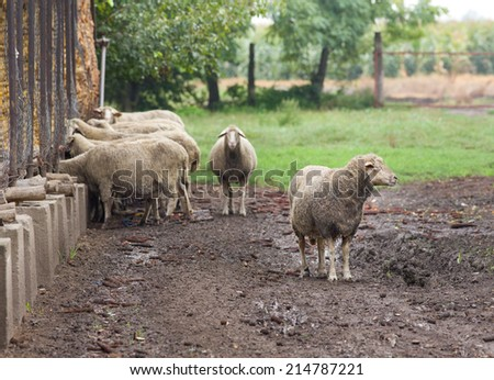 Sheep standing and eating on farmland after rain - stock photo