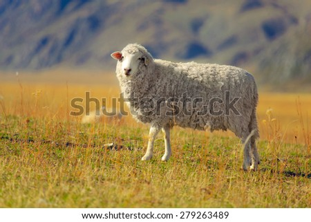 Sheep standing in the fields  - stock photo