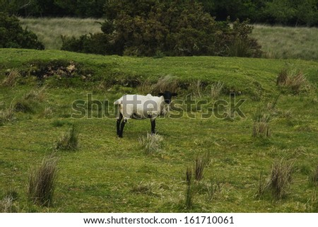 Sheep standing on a hill, Killarney National Park, Killarney, County Kerry, Republic of Ireland