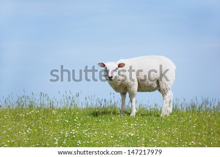 Sheep standing on a seawall looking curiously into the camera