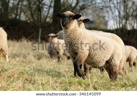sheep standing on meadow
