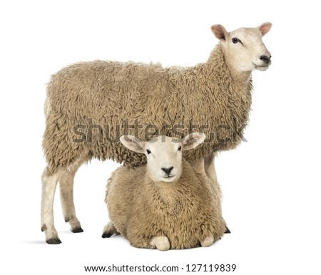 Sheep standing over another lying against white background - stock photo