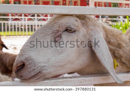 sheep stuck her head through the fence and looks in farm, select focus sheep. Soft focus background. - stock photo