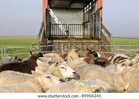 sheep transport - stock photo