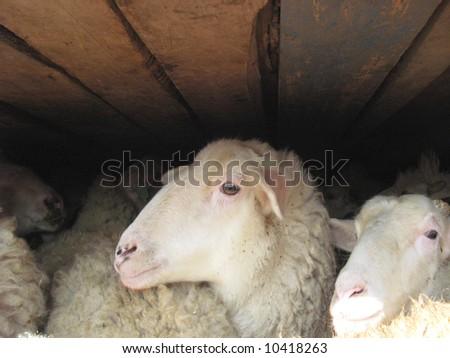 Sheep under a wooden deck - stock photo