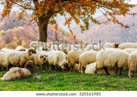 Sheep under the tree  in autumn landscape in the Romanian Carpathians - stock photo