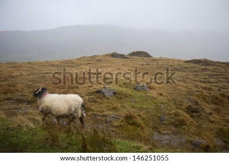 Sheep walking through foggy meadow - stock photo