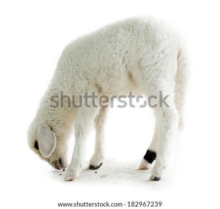 sheep white - stock photo