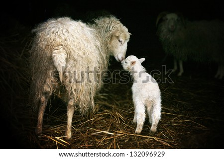 Sheep with a lamb standing in the doorway of the barn. Maternal instinct - stock photo