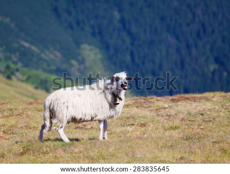 sheep with bell on mountain pasture, bleats and showing red tongue - stock photo