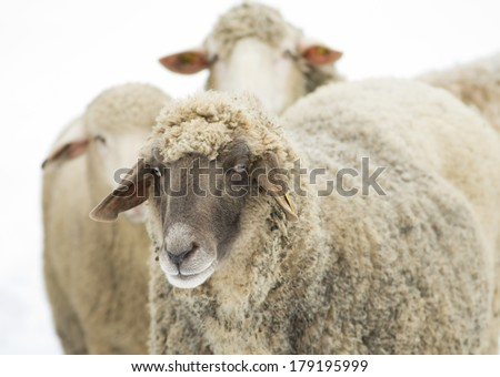Sheep with black head standing in front white sheep isolated on white background - stock photo