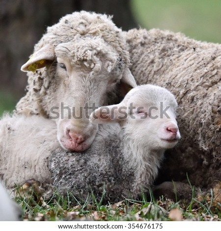 sheep with cute little lamb on field in spring - stock photo