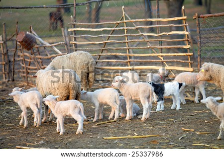 sheep with cute little lambs on a field in spring