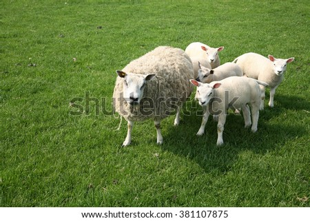 sheep with four lamb in the meadow - stock photo