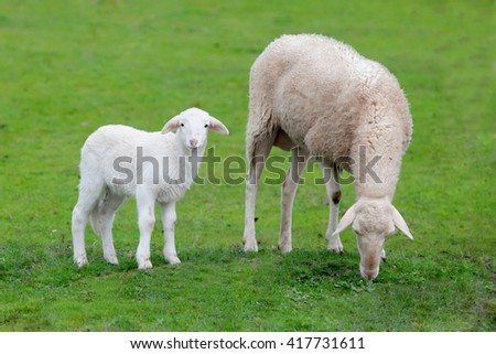 Sheep with her calf grazing on a green meadow - stock photo