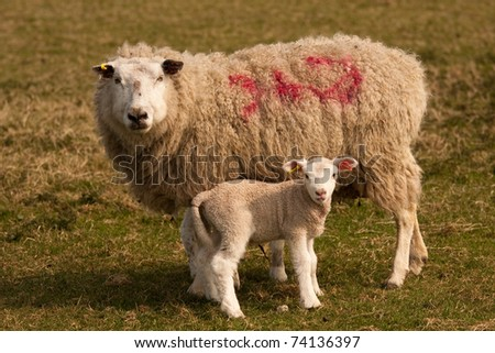 Sheep with her lamb, standing in a grassy field - stock photo