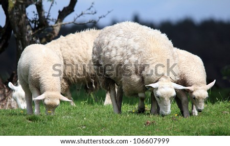 Sheep with her two lambs eating grass - stock photo