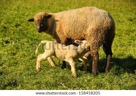 Sheep with lamb - stock photo