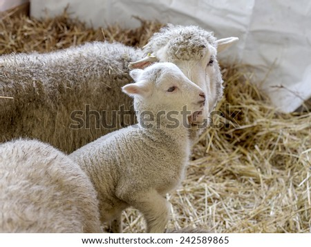 Sheep with lamb in a pen for domestic farm animals - stock photo