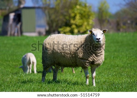 Sheep with lamb in spring