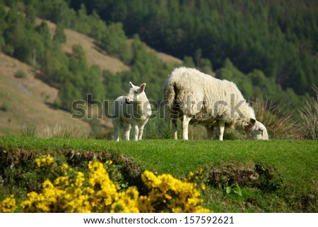 Sheep with lamb on pasture in Scotland in summer day - stock photo