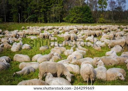 Sheep with lambs at a pasture.  sheep grazing - stock photo