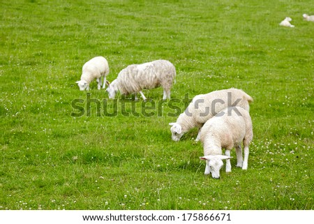 sheep with lambs on the meadow - stock photo