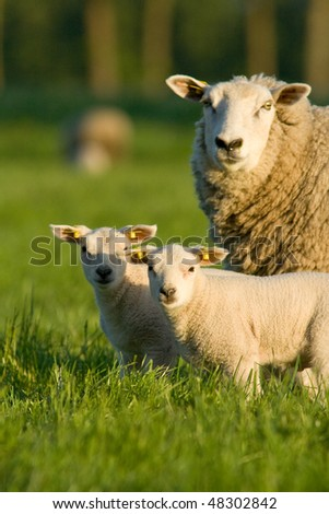 Sheep with two newborn - stock photo