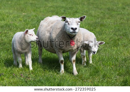 Sheep with two young grazing lambs in springtime - stock photo