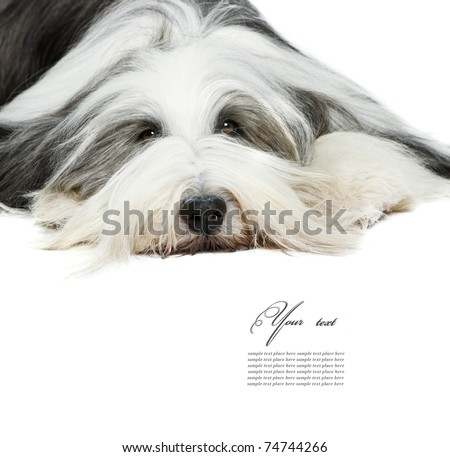 Sheepdog in front of a white background - stock photo