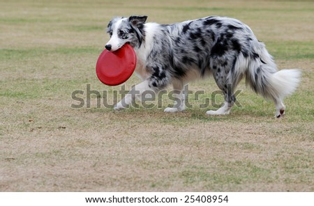 Sheepdog Playing with frisbee in the lawn - stock photo