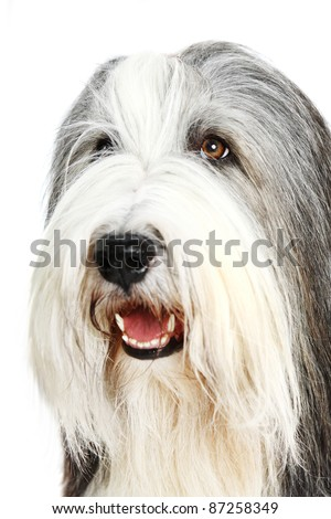 Sheepdog 4 years in front of a white background - stock photo