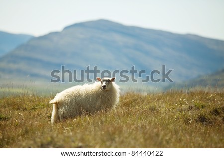 Sheeps - stock photo