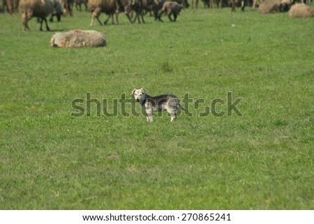 Sheeps and dog - stock photo