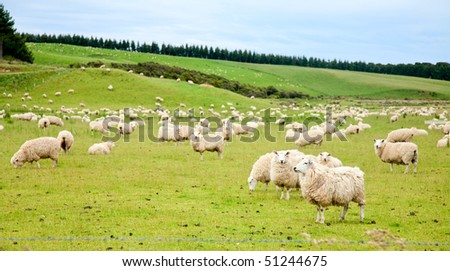 Sheeps at a pasture in New Zealand - stock photo