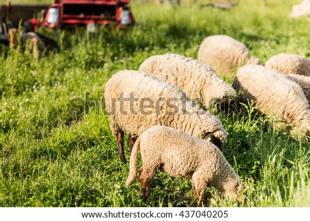 Sheeps eating grass in farm. Sheeps on pasture. - stock photo