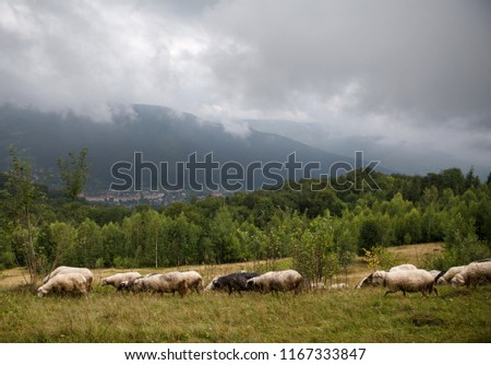 sheeps graze on a green hill in the Carpathian mountains