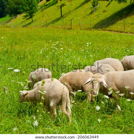 Sheeps Grazing in the Alpine Meadows of Bavaria - stock photo