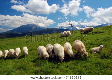 Sheeps grazing on mountain pasture of High Tatra mountains - stock photo