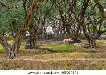 Sheeps in olive grove on Corfu island - Greece - stock photo