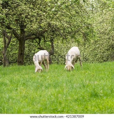 Sheeps in the beautiful orchard