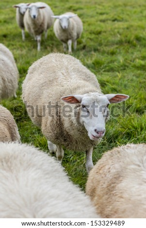 sheeps in the countryside