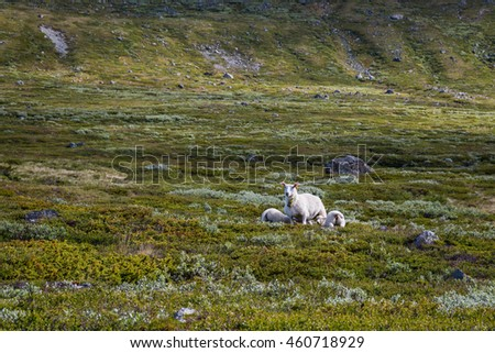 Sheeps in the Norwegian national park Jotunheimen - stock photo