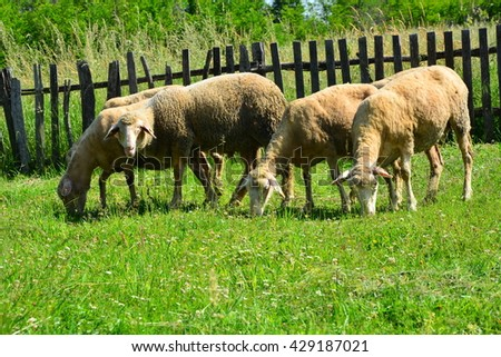 Sheeps on a meadow - stock photo